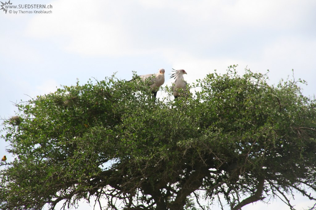 IMG 8450-Kenya, secretary birds in tree, Masai Mara
